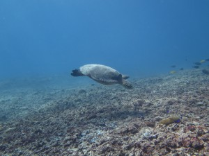 Not trash in the ocean ,happy turtles swiming around ! welcome to Gili Trawangan.