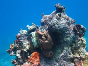 Coral Head on Molasses reef standing strong with soft bodies still proudly attached!
