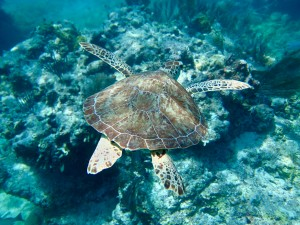 Juvenile Hawksbill Sea Turtle Playing along the reef. Life returns after the storm