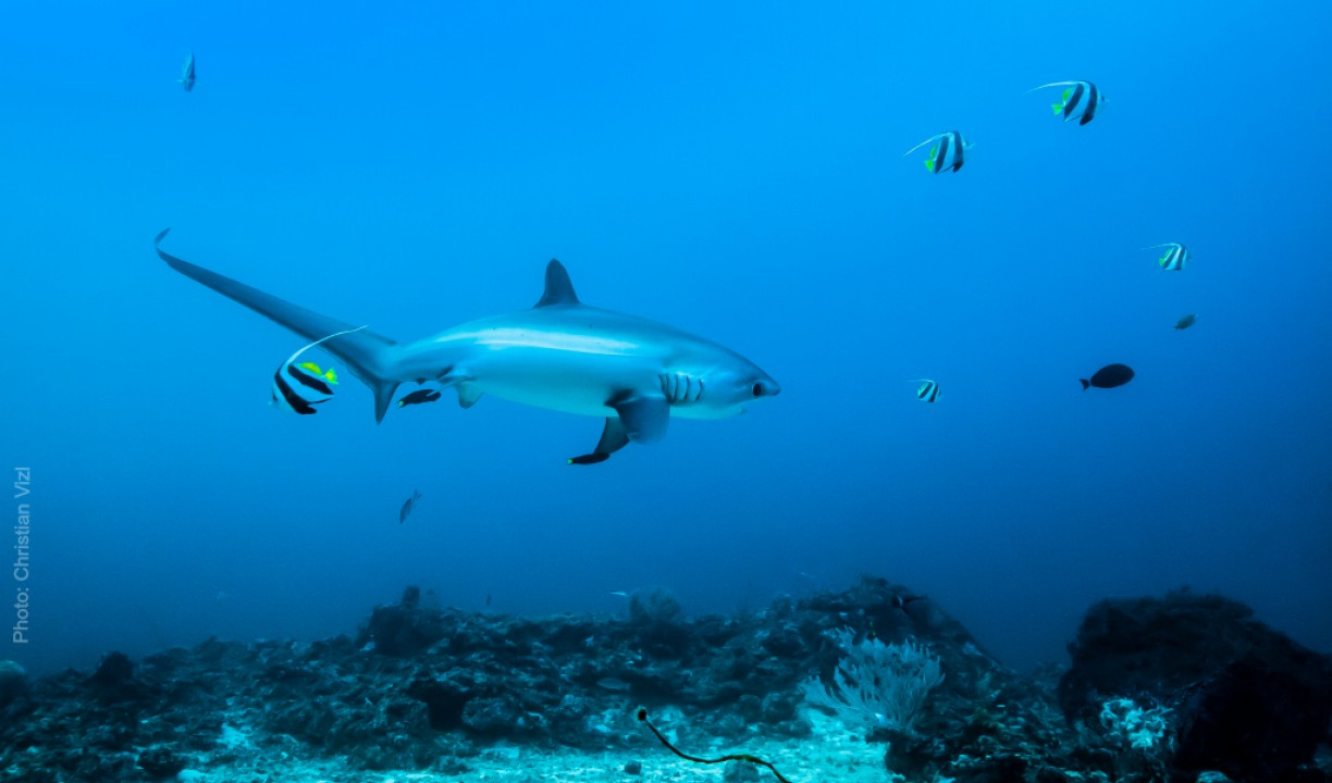 Photo of thresher shark by Christian Vizl