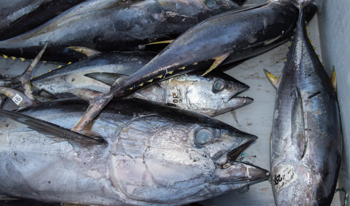 RFMOs: Tuna catch