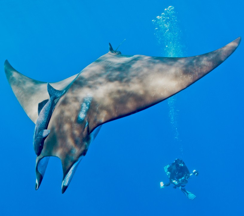 Photo of devil ray by Blue Shark Conservation k.Vandevelde