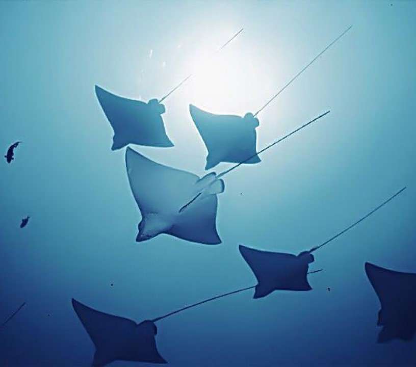 image of eagle rays maldives richard harisson