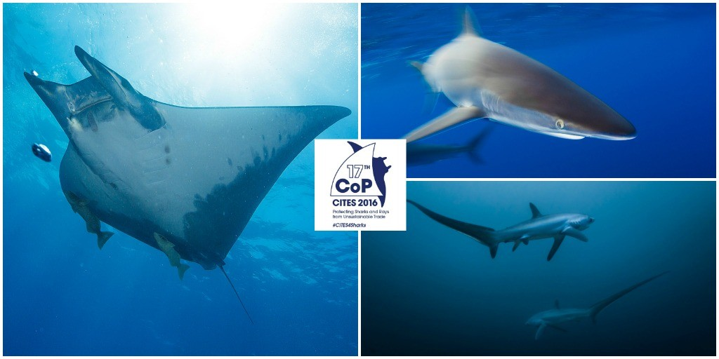 Images of sharks and rays CITES CoP17