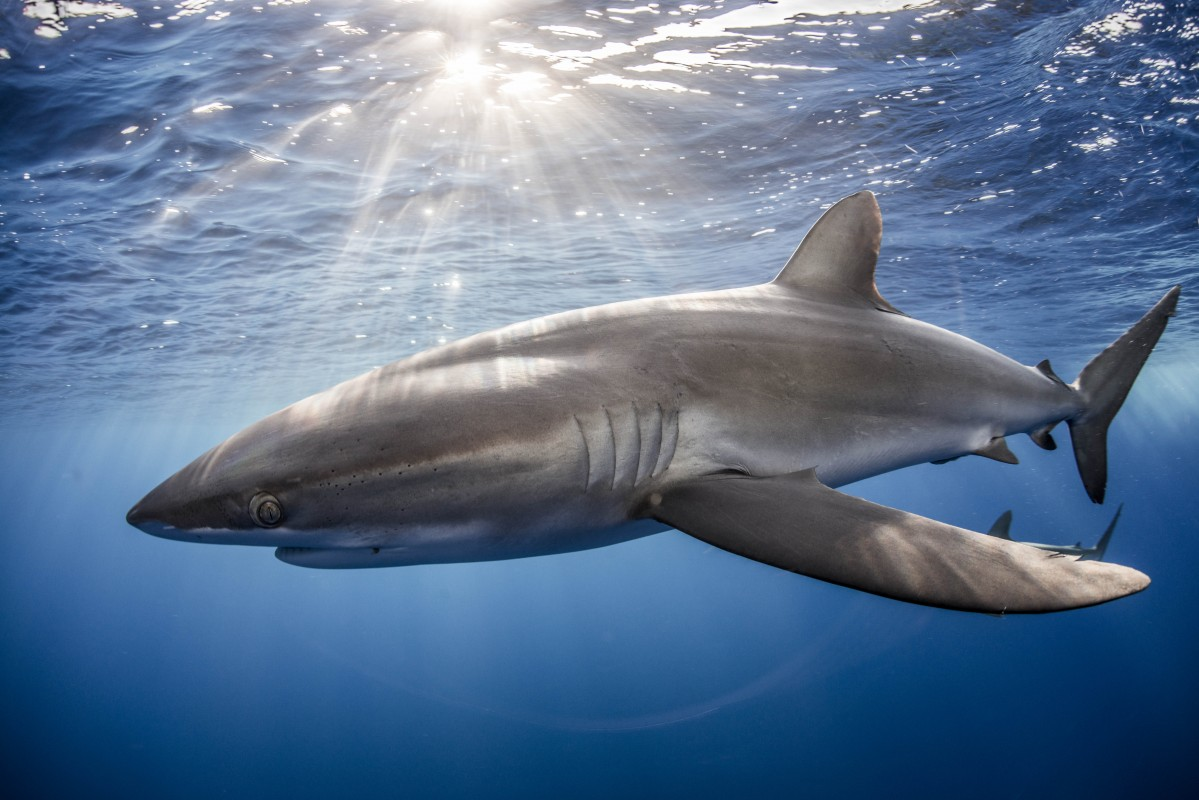 news project aware image of silky shark courtesy of rodrigo friscione
