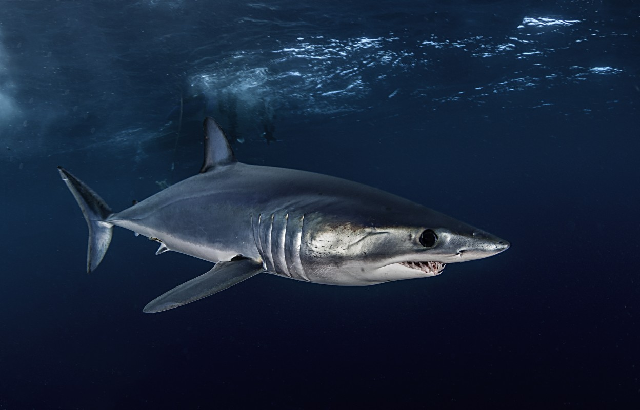 Project AWARE: Atlantic shortfin mako - being overfished