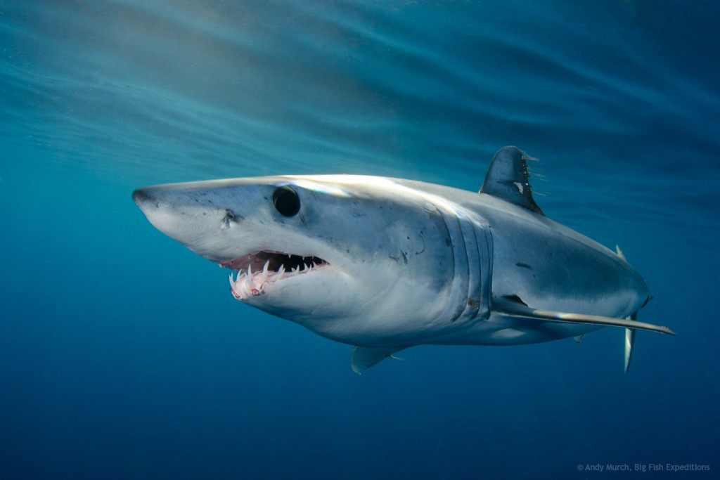 image of mako shark by Andy Murch Big Fish Expeditions