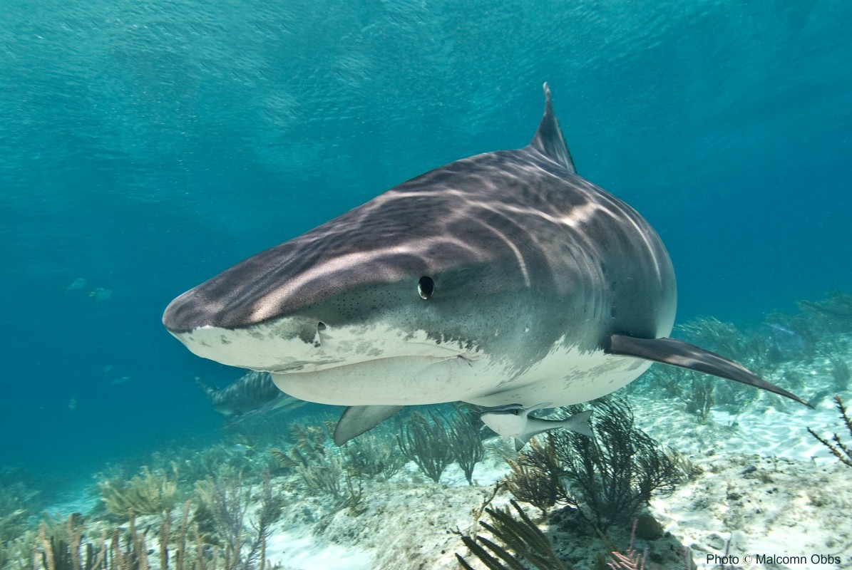 image to tiger shark wikimedia commons