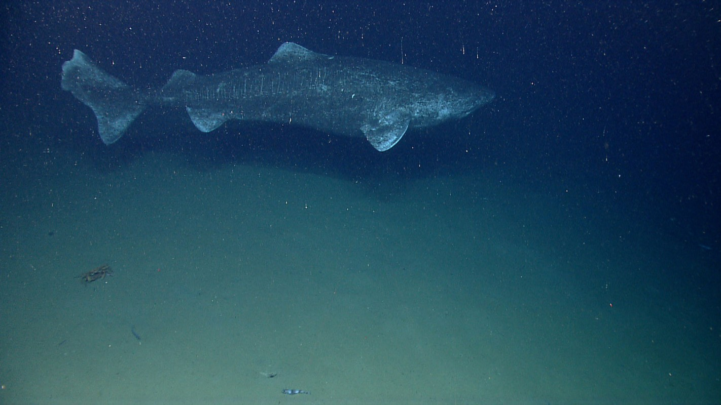 image of greenland shark