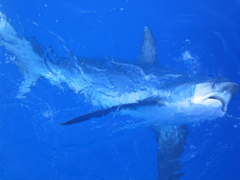 image of thresher shark
