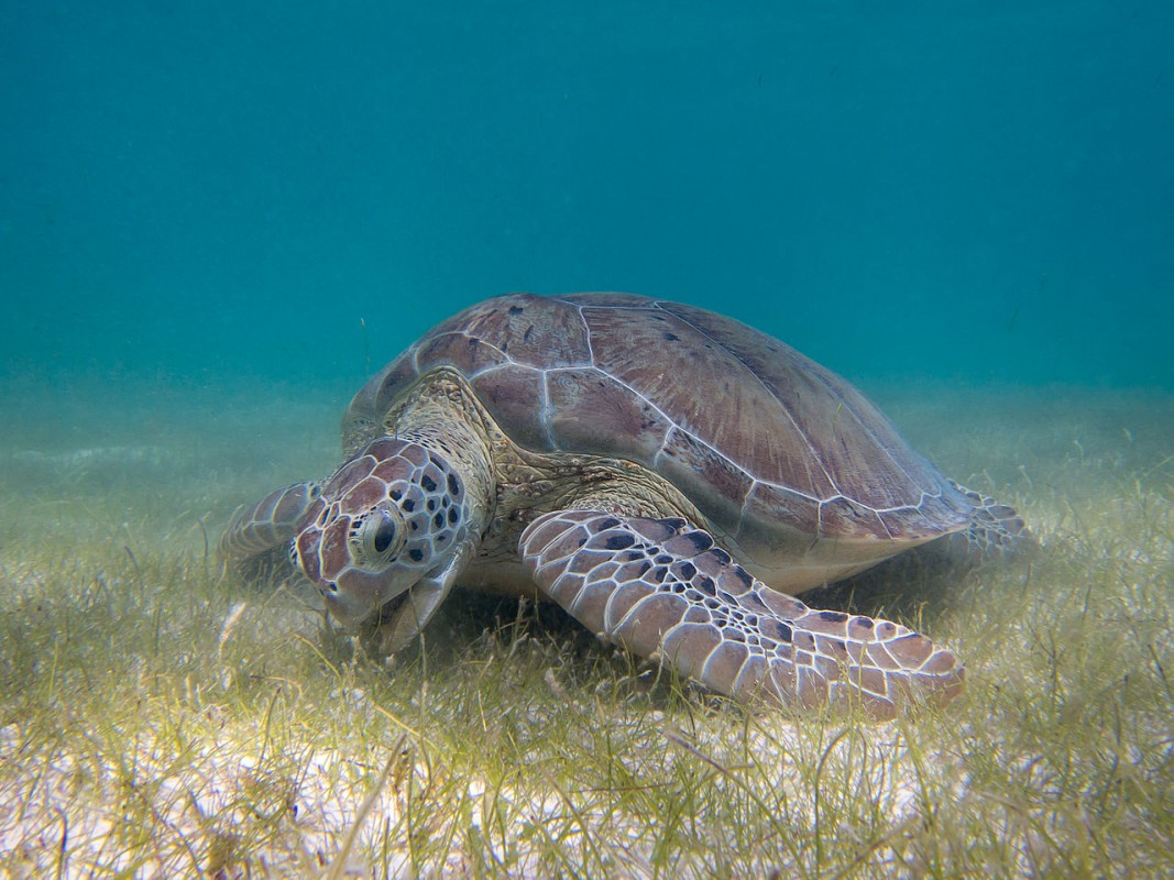 image turtle and seagrass P.Lindgren