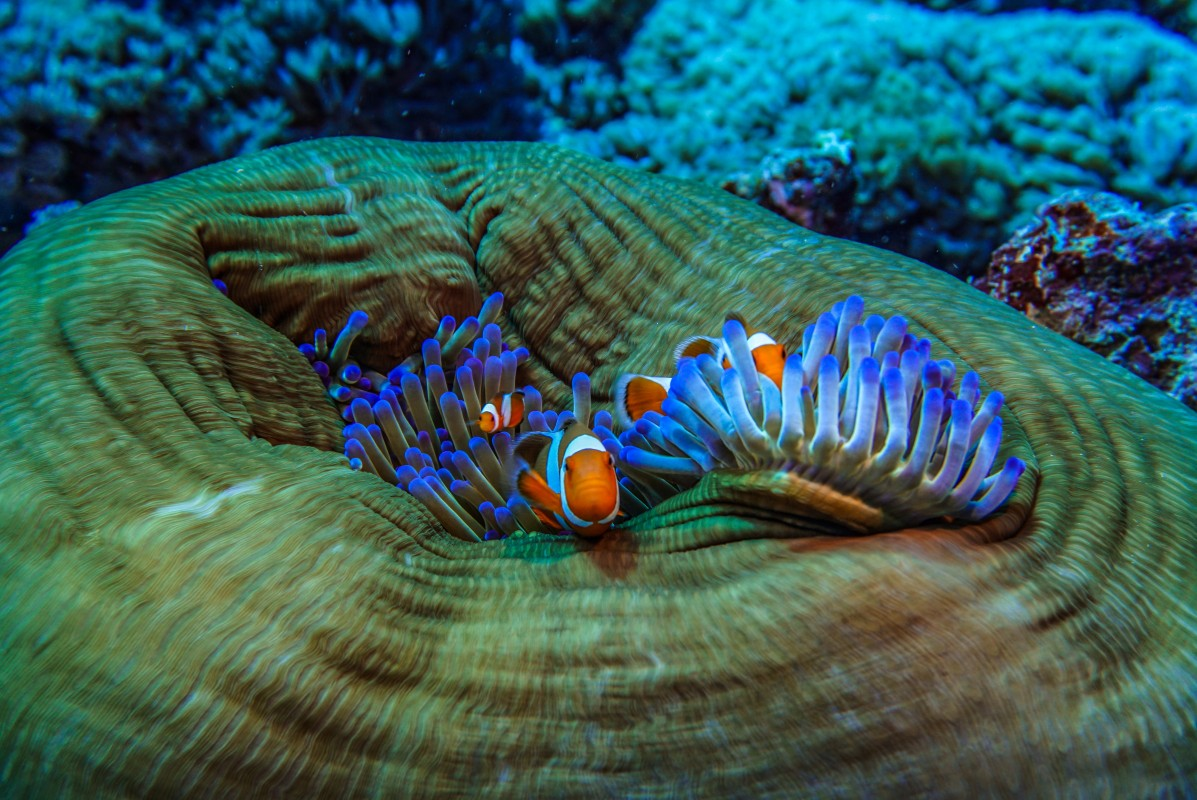 image photo of blue sea anemone and clown fish