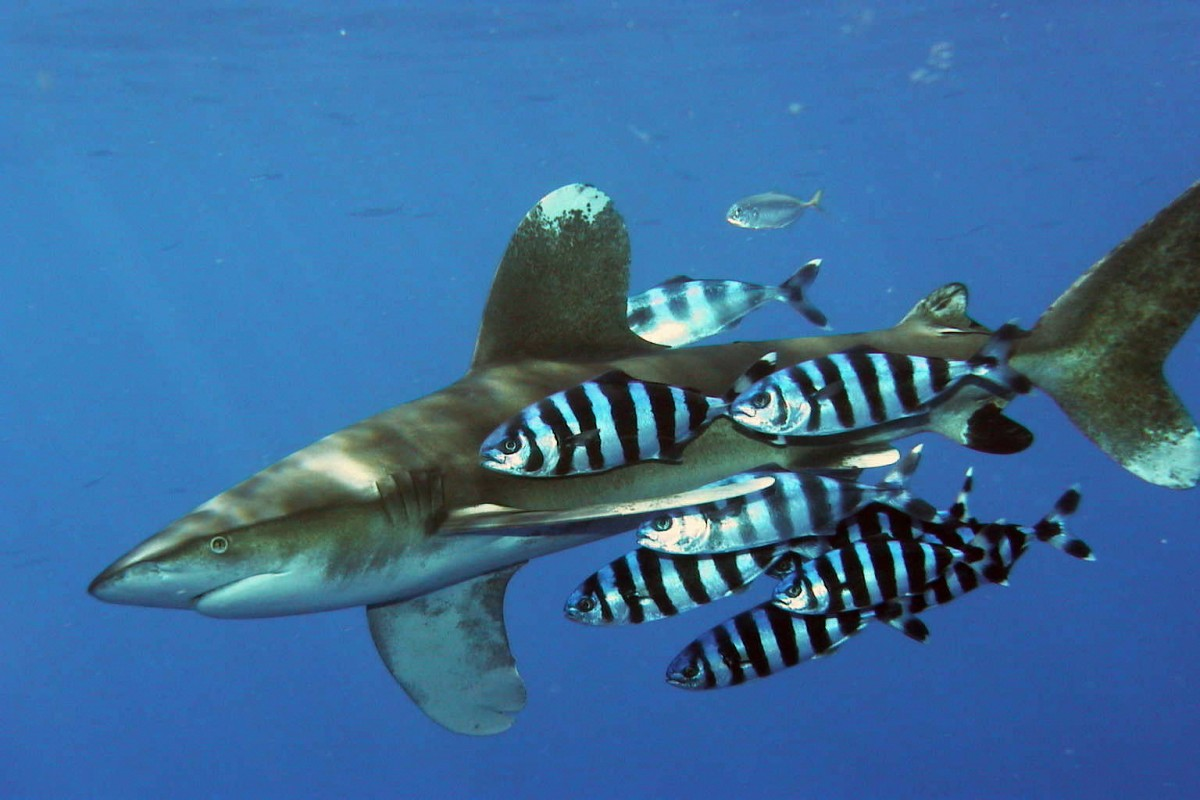 image of oceanic whitetip wikimmedia commons