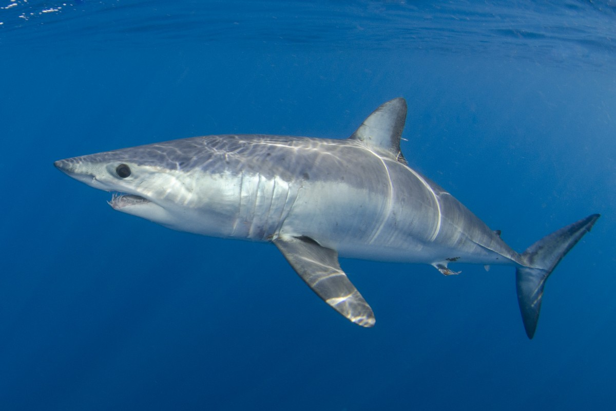 image of mako shark Andy Murch