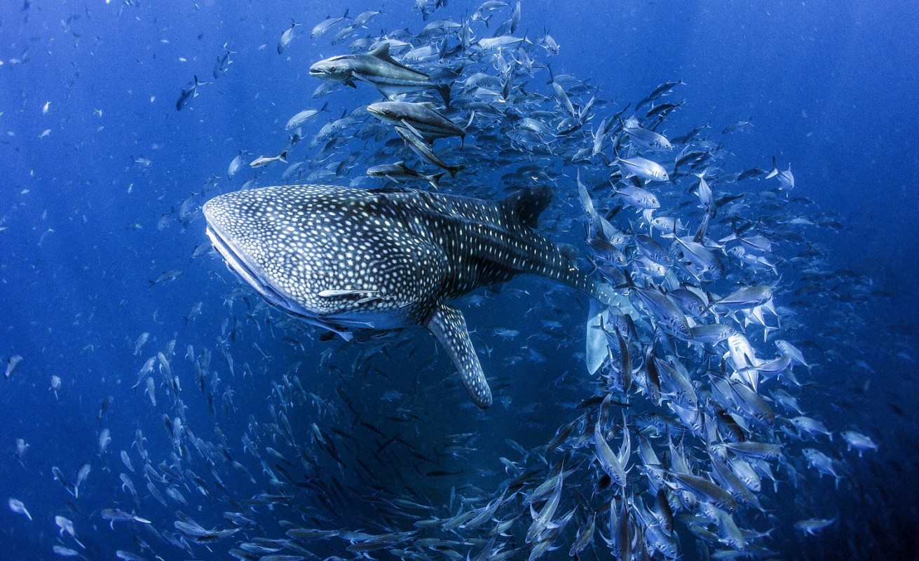 image of whale shark copyright Dan Charity