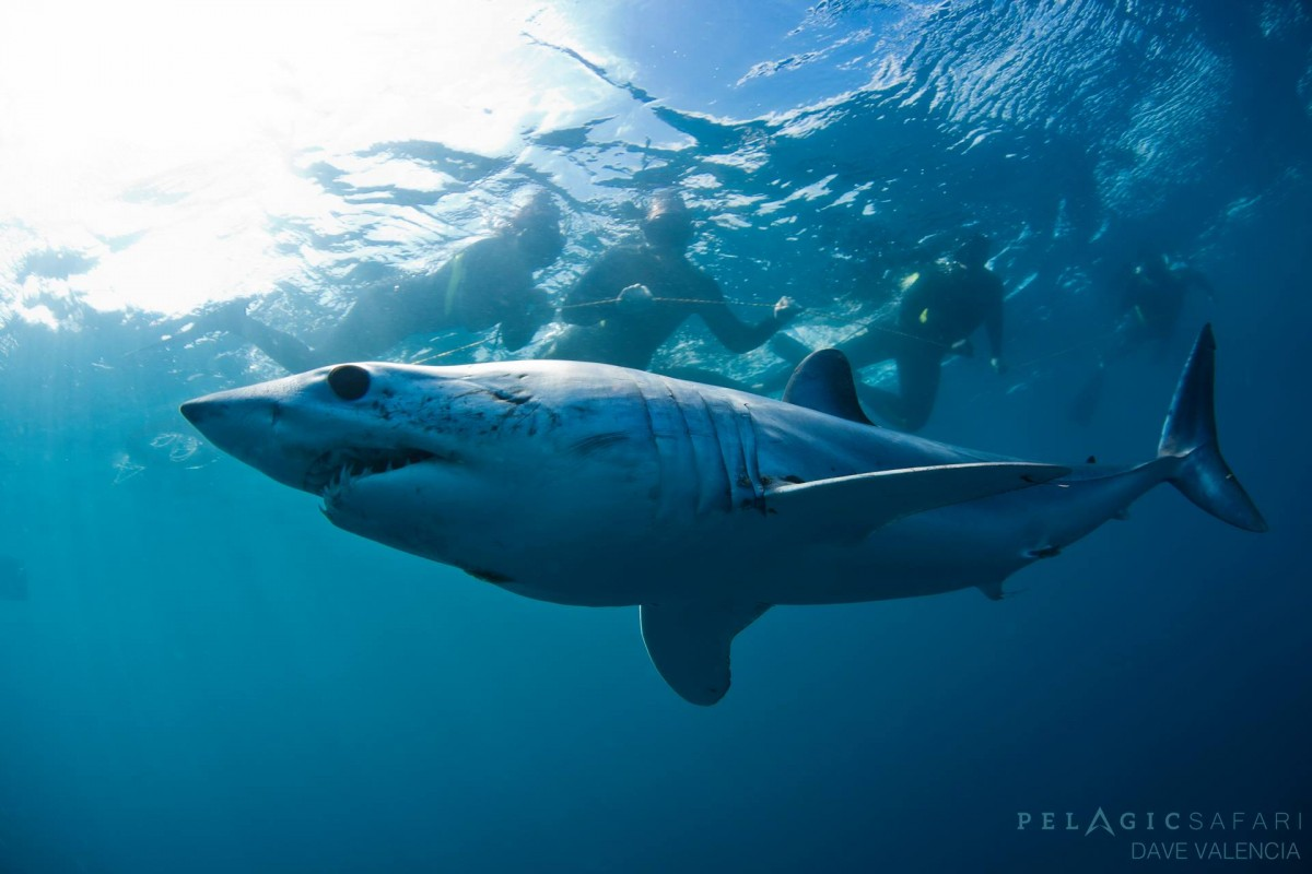 Mako shark by Dave Valencia