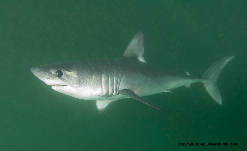 image of porbeagle by Andy Murch