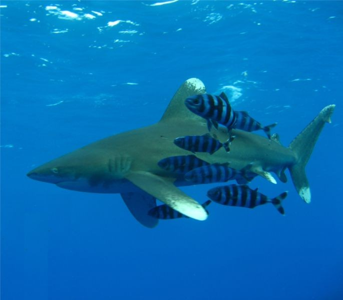 image of oceanic shark