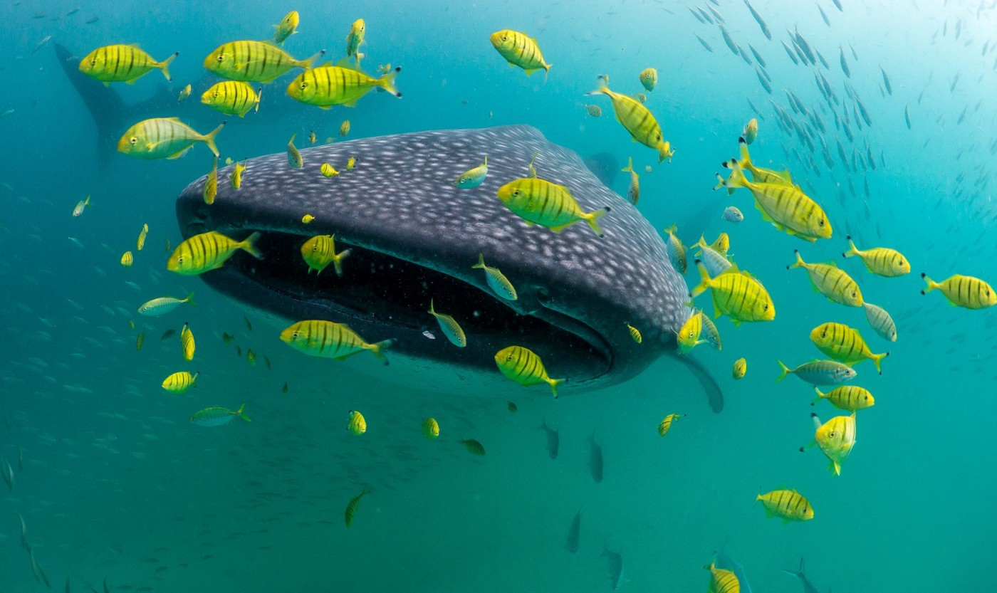 Image of whale shark simon j pierce