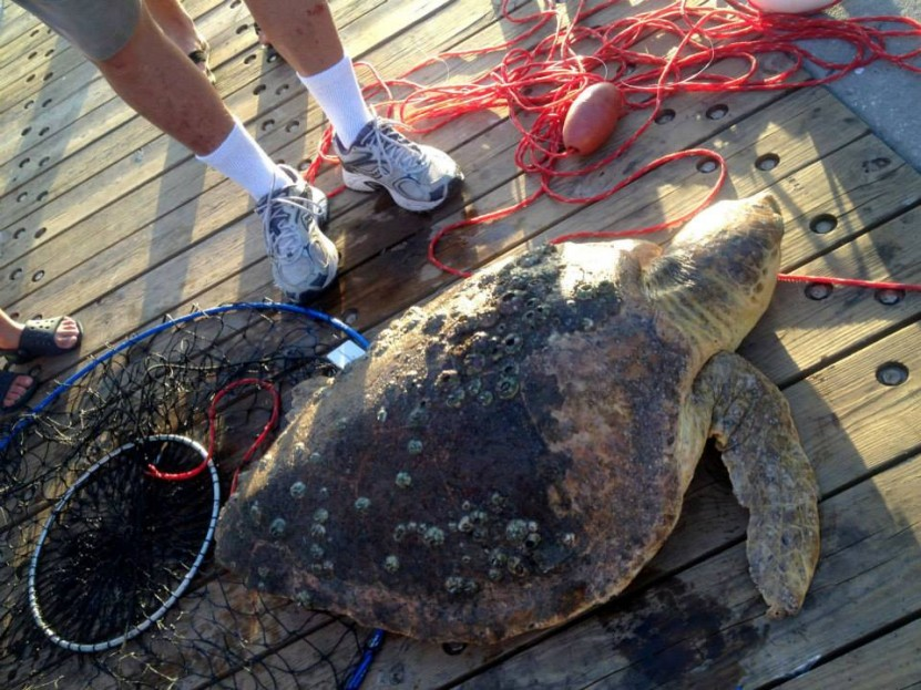 Endangered sea turtle hooked and rescued at juno beach for Juno pier fishing report