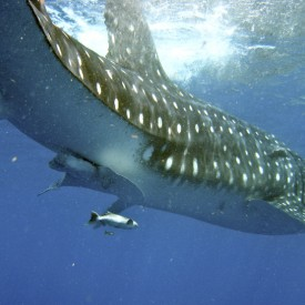 Profile picture for user Whale Shark Festival