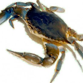 Profile picture for user bluecrab
