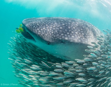 Teenage Male Whale Sharks Don't Want to Leave Home