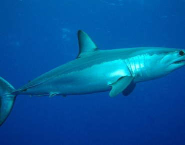 Conservationists Call for Mako Shark Fishing Ban
