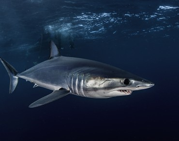 The ocean's fastest shark is being threatened by over fishing.