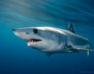 Scientists Report on Mako Shark Overfishing, Advise North Atlantic Ban