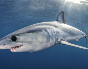 The World's Fastest Shark is in Deep Trouble