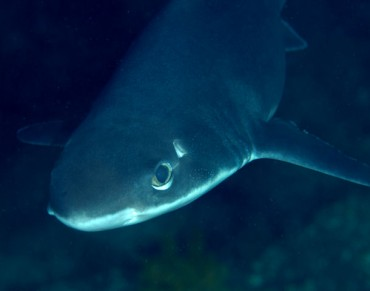 Newly Discovered Shark Species Honors Female Pioneer