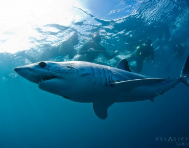 World's Fastest Shark is Racing Towards Extinction