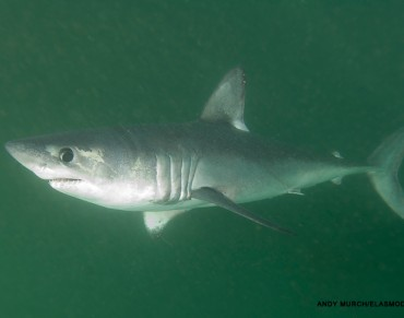 Study Dives Deep into Saving Endangered Shark