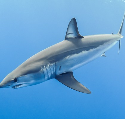 photo by Blue Shark Conservation