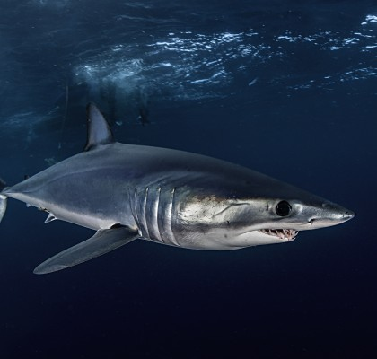 Mako shark - one of the most fished in the world