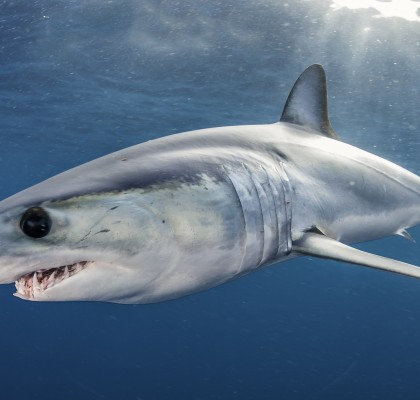 Project AWARE Mako Shark